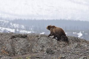 Bear climbing with cubs in Yellowstone National Park during winter